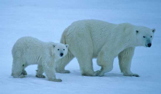 Polar Bear Viewing in Manitoba